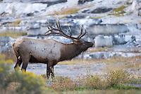 Bull elk gather near Mammoth Hot Springs during the autumn rut.