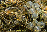 1S70-001b  Three Spined Stickleback - newly hatched young and eggs in nest - Gasterosteus aculeatus