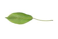 Birne, Birnbaum, Kultur-Birne, Kulturbirne, Garten-Birnbaum, Obstbaum, Pyrus communis, Common Pear, Poirier commun. Blatt, Blätter, leaf, leaves