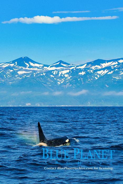killer whale or orca, Orcinus orca, spouting, creating rainbow over splash, Rausu, Shiretoko, Hokkaido, Japan, Pacific Ocean