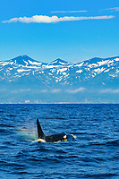 killer whale or orca, Orcinus orca, spouting, creating rainbow over splash, Rausu, Shiretoko, Hokkaido, Japan, Pacific Ocean