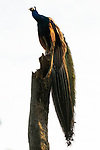 Indian Peafowl (Pavo cristatus) male, Sigiriya, Sri Lanka