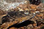 Winter Flounder close-up facing right