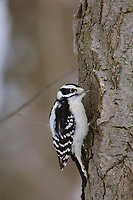 Adult female Downy Woodpecker (Picoides pubescens). Tompkins County, New York. February.
