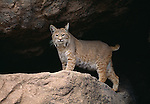 Bobcats are twice the size of domestic cats.