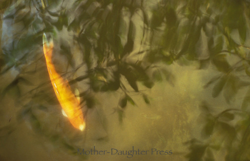 Coi, goldfish, underwater in garden pond with leaves reflected in water.