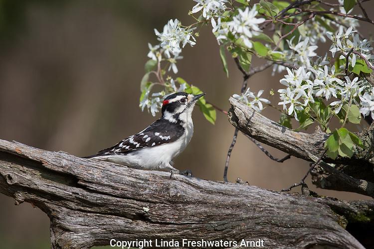 Male downy woodpecker in spring