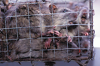 A rats restaurant in Guangzhou that specializes in selling various dishes of rat.  The rats are stored in cages outside the restaurant skinned, slaughtered and cooked in a hot pot or stir fried. Rat meat is claimed to help prevent hair loss...PHOTO BY SINOPIX