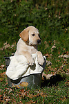 Yellow Labrador retriever puppy (AKC) sitting in a pail ready for a bath.  Fall.  Birchwood, WI.