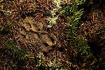 Mountain Lion (Puma concolor) tracks, Pescadero Creek County Park, California