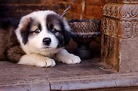 Himalayan Mastiff Puppy in Bhaktapur, Nepal