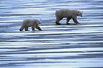 Polar bears walking in unison, Canada.