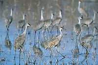 Sandhill cranes (Grus canadensis), Western U.S., late winter.