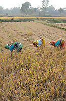 INDIA West Bengal, Dalit woman harvest rice for community rice bank in village Kustora / INDIEN Westbengalen , Dorf Kustora , Reisernte , Dalit Frauen betreiben gemeinsam eine Reisbank zur Ueberbrueckung von Ernteausfaellen und bei Nahrungsverknappung , gefoerdert durch LWS Indien