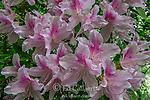 Azalea, Cypress Garden, Mill Valley, California