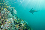 Sea of Cortez, Baja California, Mexico; a California Sea Lion (Zalophus californianus) swimming through sun beams streaming in from above a rock wall covered with barrel sponges and stinging hydroids