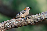 Golden-fronted Woodpecker perched on a branch in South Texas.