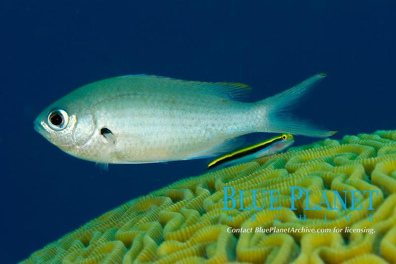Brown chromis or damselfish, Chromis multilineata, with cleaner goby, Goby species, near brain coral, Bonaire, Netherland Antilles, Caribbean Sea, Atlantic Ocean