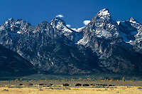 749450018 a wild herd of bison bison bison forage in tall grass with the teton range in the background in grand tetons national park wyoming