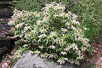 Pieris japonica 'Cavatine' dwarf Japanese Andromeda shrub bush in spring bloom