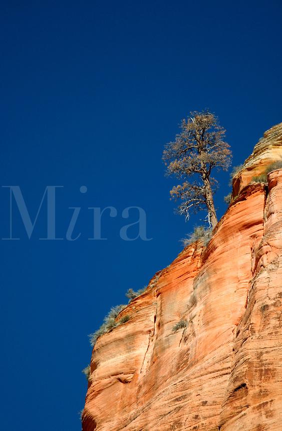 Tree on canyon rim against blue sky, Zion National Park, Washington County, U