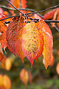 Autumn foliage of Prunus hirtipes, early November. An  early-blooming cherry brought to the Western Hemisphere by plant explorer E.H. Wilson, who made numerous trips to the hills of western China in the early 1900s. White blossom with a pale pink cast, in early April or occasionally late March.