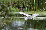 Damon, Texas; a great egret flying, wings spread, over the slough on an overcast early morning