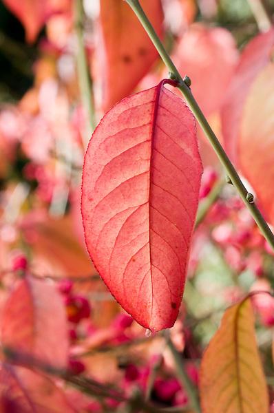 Euonymus Hamiltonianus 'Calocarpus'