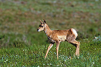Pronghorn fawn (Antilocapra americana) on the prairie in spring, Yellowstone National Park, Montana, U.S.A.