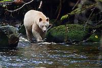 "Kermode ""Spirit"" Bear searching for salmon along a river"