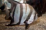 atlantic spadefish