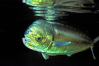 mahi mahi, dorado or dolphinfish, Coryphaena hippurus, being raised as a food source at Pacific Harvest, an aquaculture operation, Hawaii ( Central Pacific Ocean )