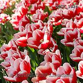 Gisela, FLOWERS, BLUMEN, FLORES, photos+++++,DTGK1924,#f#