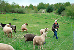 Steam Valley Fiber Farm..Border Leicester Sheep.Phylleri Ball