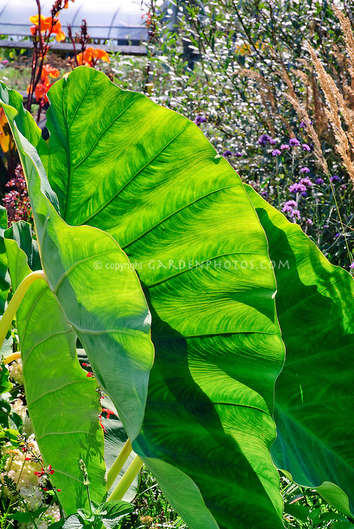 Colocasia Elelphant's Ears backlit at White Flower Farm, with canna, ornamental grass, greenhouse at rear