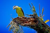 Animais. Aves. Bem-te-vi ( Pitangus sulfhuratus). SP. Foto de Silvio Dutra.