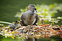 Pied-billed grebe on nest with chick in Golden Gate Park, San Francisco, California