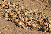 Windrowed onions ready for harvest - Lincolnshire, August