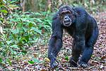 Mahale Mountains National Park, Tanzania , chimpanzee
