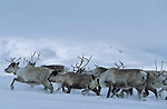 Once, the migration route used to go through the valleys and the natural lakes. Today, because of these barrages, they have to go through the mountain to join back the summer pastures.Reindeer migration from Gallivare to the national parks of  Sarek and Stora Sjôfallet, 200 km west. Lapland, Sapmi, north of Sweden..