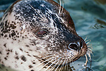 harbor seal, close-up of face looking right