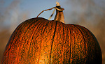 More than 30,000 pumpkins in more than 20 varieties were grown for the Corley Ranch Harvest Festival in Gardnerville, Nev. on Saturday, Oct. 27, 2012. .Photo by Cathleen Allison