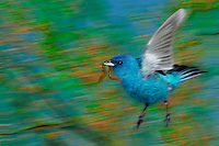 Male Indigo bunting, Passerina cyanea, carrying a worm to nesting site