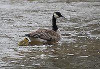 Canada Geese with gosling float down the Tobacco River in the rain in Montana. Mama's tail providing an umbrella.