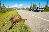 moose, or elk, Alces alces, adult, cow, carcass, killed by traffic accident, roadkill, Richardson Highway, Alaska, USA