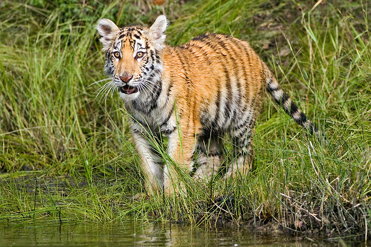 Young tiger standing along the edge of a pond - CA