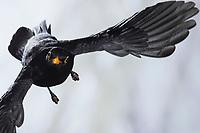Amsel, Schwarzdrossel, Männchen, Flug, Flugbild, fliegend, Turdus merula, Blackbird, male, flight, flying, Merle noir