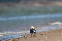 A seagull on the beach and estuary La Cruz in Kino viejo, Sonora, Mexico. Gulls Birds, Dolphin gull, Silver gull<br /> (Photo: Luis Gutierrez / NortePhoto.com).<br /> <br /> Una gaviota en la playa y estero La Cruz en Kino viejo, Sonora, Mexico. Gulls Birds, Dolphin gull, Silver gull<br /> (Photo: Luis Gutierrez / NortePhoto.com). .<br /> <br /> Gulf of California, Sea of Cortes or Red Sea that is located between the Baja California peninsula, Golfo de California, Mar de Cortes o mar Bermejo que se encuentra entre la península de Baja California