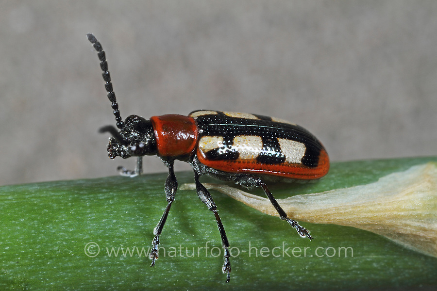 Buntes Spargelhähnchen, Gemeines Spargel-Hähnchen, Crioceris asparagi, common asparagus beetle