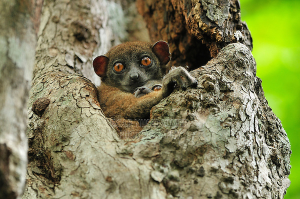 Ankarana Sportive Lemur (Lepilemur ankaranensis), female with baby in tree, Ankarana National Park, Northern Madagascar